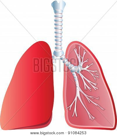 Lungs - Illustration