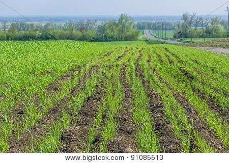 Field With Green Shoots Of Spring Wheat