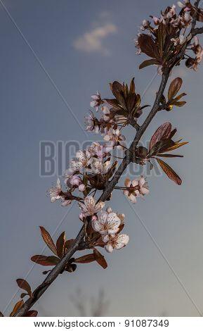 Red Plum Flowers
