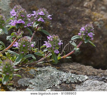 Thyme, Thymus Serpyllum