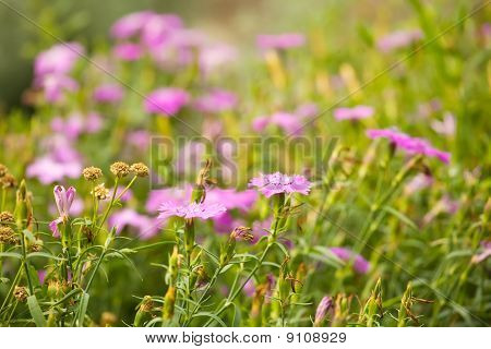 Background Of Field Pink