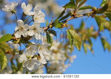Apple tree flowers-spring tree flowers
