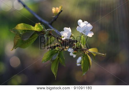 Apple tree flowers-spring tree flowers