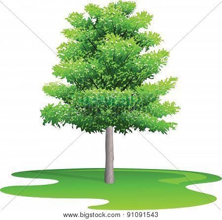 Maple Tree - Illustration