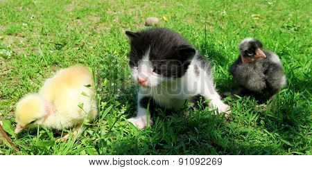 Kitten and baby chicks