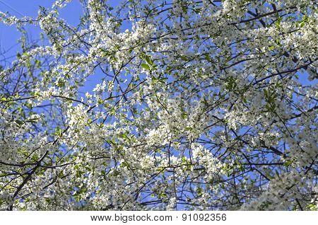 Flowering Cherry.