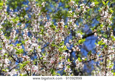 Blossoming Nanking Cherry