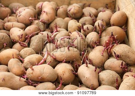 Sprouting Potato Tubers Before Planting