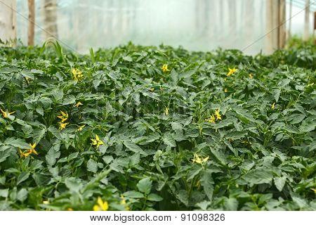 Flowering Tomato Seedlings Before Planting