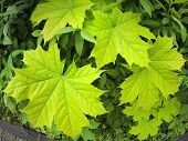 pic of distort  - Green maple leaves closeup with wide angle distortion view - JPG