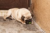 picture of pug  - Photograph of a pug dog and a ball on a concrete floor  - JPG