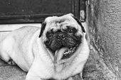 pic of pug  - Photograph of a pug dog on a concrete floor and  - JPG