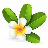 stock photo of frangipani  - Summer spa frangipani plumeria tropical flower with green leaves bali hawaii vector editable illustration - JPG