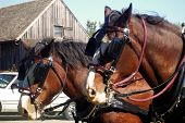 image of clydesdale  - clydesdale horses hitched and ready to pull the wagon - JPG