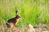 stock photo of wild-rabbit  - Wild rabbit in nature hiding in the grass - JPG