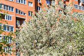 pic of cherry trees  - flowering cherry tree and urban apartment house on background - JPG