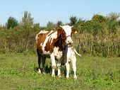 stock photo of calves  - Cow with newborn calf - JPG