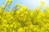 picture of rape-seed  - young rape field on a sunny day - JPG