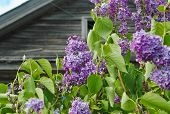 picture of lilac bush  - Blooming lilac bush with part of wooden house on background - JPG