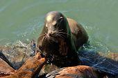 foto of sea lion  - California Sea Lion Zalophus californianus on the water front in Newoprt Oregon - JPG