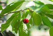 stock photo of cherries  - Ecological fresh sweet ripe cherry from Valle del Jerte in Spain in cherry - JPG
