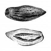 stock photo of melon  - Hand drawn pepino melon on white background - JPG