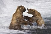 picture of mating bears  - Two male grizzly bears have a disagreement over who owns this particular slamon fishing spot - JPG