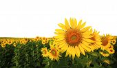 picture of sunflower  - beautiful sunflower in the field isolated on white background - JPG
