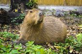 foto of herbivore animal  - Capybara semi - JPG