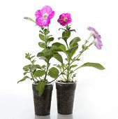 picture of petunia  - Seedlings of petunia on a white background - JPG