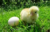 picture of bird egg  - Chicken and egg stands in the courtyard near the grass - JPG