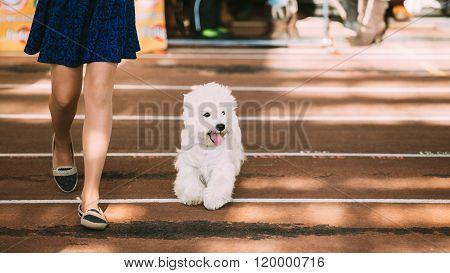 Smiling White West Highland White Terrier, Westie, Westy, Dog