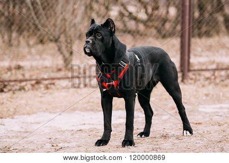 Black Young Cane Corso Puppy Dog Outdoors.