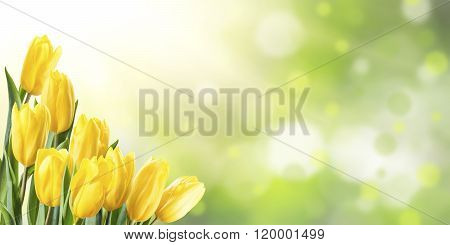 Spring Background With Yellow Tulip
