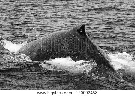Humpback Whale (black And White) Diving Near St Lucia South Africa