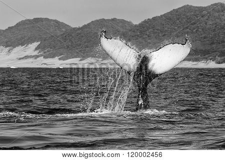 Humpback Whale (black And White) Diving South Africa
