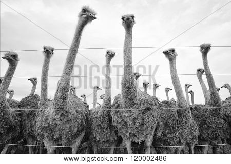 Ostriches In A South African's Farm