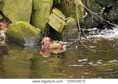 swimming mandarin duck