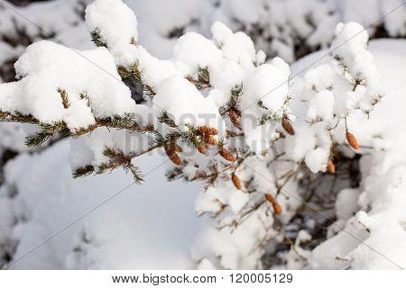 fir cones on a branch