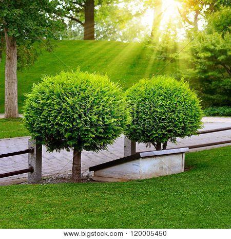 Beautiful Evergreen Thuja In Summer Park