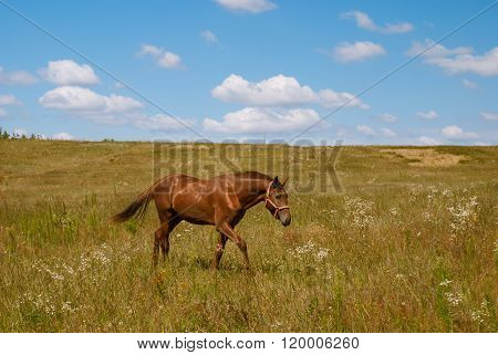 Horse On A Blossoming Field, Ukraine