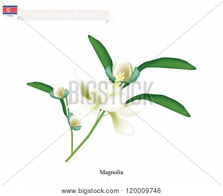 Siebold's Magnolia The National Flower Of North Korea