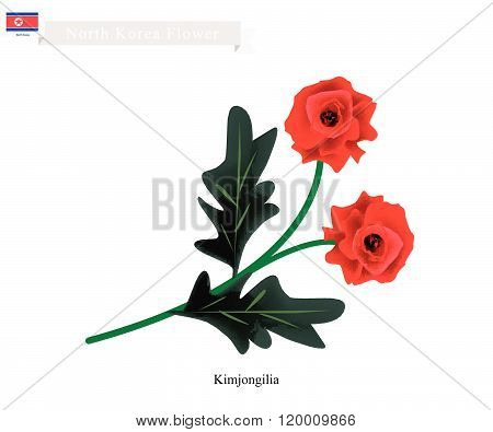 Tuberous Begonia Flower Or Kimjongilia Flower Of North Korea