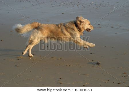 Golden Retriever chasing a stick on the beach.