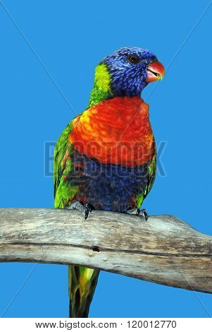 Rainbow lorikeet Latin name Trichoglossus haematodus perched on a branch