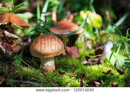 mushroom in forest, russian nature