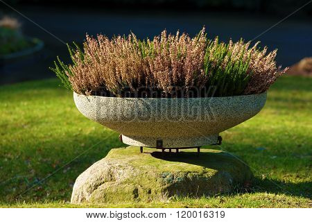 Heather In A Pot