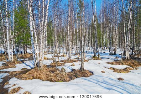 Spring landscape in the birch wood.