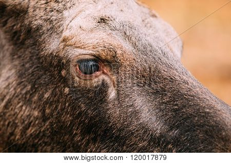 Close up of eye of wild female moose, elk