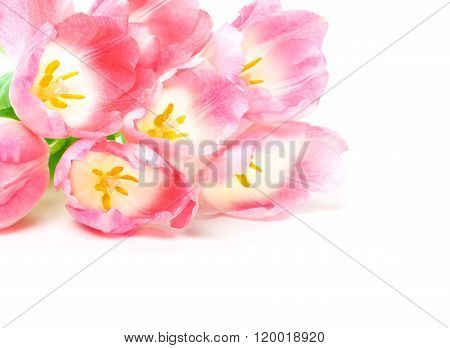 Pink Tulips, White Background